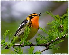 Blackburnian Warbler (RKop) Tags: d500 nikkor600f4evr 14xtciii raphaelkopanphotography ohio mageemarsh warblers warbler wildlife