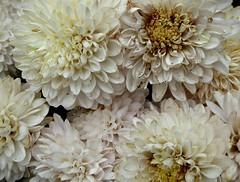 Dahlias. (jenichesney57) Tags: flowers dahlias cream white yellow ochre panasoniclumix bunch bronze petals
