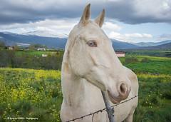Blue eyes (Ignacio Ferre) Tags: retrato portrait caballo horse équido equus segovia españa spain animal mammal mamífero nikon eyes blue ojos azul cabeza head face cara