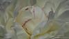 Mary E. Nicholls Peony (BraCom (Bram)) Tags: 169 bracom bramvanbroekhoven goereeoverflakkee holland maryenicholls nederland netherlands sigma150mmf28exdgapohsmmacro southholland zuidholland bloem bloemblaadjes flower hart heart lente macro peony petals pioen pioenroos spring widescreen dirksland nl