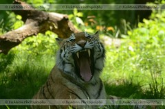 Black Metal Kitty (ficktionphotography) Tags: amurtiger siberiantiger zoophotography tiger bigcat funny tongue teeth yawn enter new tag tags displayed publiclybronxzoo