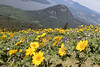 Dog Mountain Trail: Blooming yellow field looking into river valley (ogmueller) Tags: stockcategories photospecs usa valley washington flowers northamerica nature river mountain aerial imagetype landscapes photojournalism places field stevenson unitedstates