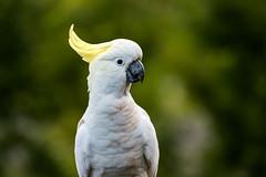 sulphur crested cockatoo (yodamonk) Tags: hazelbrook newsouthwales australia au