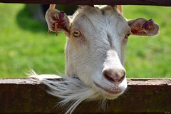 Summer walks - one never knows what one will see next! (Nina_Ali) Tags: goat nature fauna 7dwf nina ali ninaali