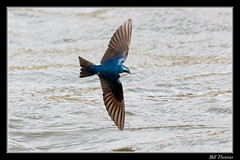 Tree Swallow-1 (billthomas_steel) Tags: treeswallow tachycinetabicolor swallow bird hunting flying river wildlife britishcolumbia canada canon eos7dmarkii