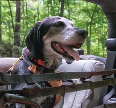 23/52 | post-swim bliss (huckleberryblue) Tags: week23 52weeksfordogs summer jeep dog hound coonhound bluetickcoonhound gracie