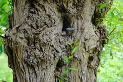 Nuthatch on a gnarly trunk (Dave_A_2007) Tags: sittaeuropaea bird nature nuthatch wildlife stratforduponavon warwickshire england