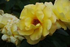 DSC_2474 (PeaTJay) Tags: nikond70s reading lowerearley berkshire macro micro closeups gardens outdoors nature flora fauna plants flowers rose roses rosebuds