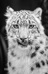 DSC08758 (montusurf) Tags: snow leopard baby cub henry doorly zoo omaha nebraska predator tongue portrait face black white bw