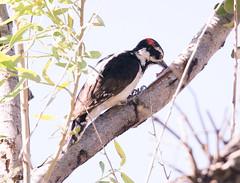 Hairy Woodpecker (ElizabethCaffey) Tags: hairy woodpecker