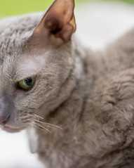 Karolina (2) (toriasoll) Tags: cat cornishrex cornish cornishcat cornishrexcat curlycat