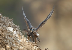 Young peregrine falcon with a swallow (charlescpan) Tags: falcon prey