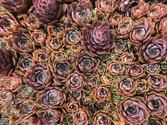 Seattle_Suculents_Geometry_Colorfull_Lush (Zero State Reflex) Tags: seattle washington pnw lush flora geometry succulents nature photography iphonex