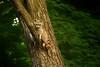 They Call Me Brown Bear (Goromo) Tags: raccoon brownbear evening relaxing climbing tree limb hanging wildlife