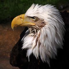 Eagle Portrait (Gerry Marchand) Tags: olympus omd em5 eagle bald