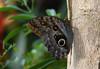 Brown eyes (eric zijn fotoos) Tags: insect insekt dier animal nature natuur vlinder butterfly sonyrx10m3 nederland holland noordholland artis brown bruin ogen eyes