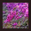Flora (STEHOUWER AND RECIO) Tags: flora floral flower bulkalak pink purple roze paars macro closeup nature natuur netherlands holland dutch flowers naturephotography