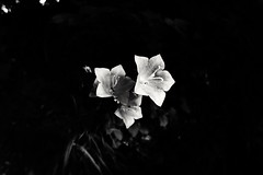 meet a beauty in the woods (mario.reinisch81) Tags: bwphotography bnwphoto bw bwonly blackandwhitephoto blackandwhite natur naturephotography nature flower blossom beauty bnwofourworld bnw