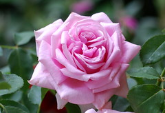 Jesusnam', du höchster Name (amras_de) Tags: rose rosen ruža rosa ruže rozo roos arrosa ruusut rós rózsa rože rozes rozen roser róza trandafir vrtnica rossläktet gül blüte blume flor cvijet kvet blomst flower floro õis lore kukka fleur bláth virág blóm fiore flos žiedas zieds bloem blome kwiat floare ciuri flouer cvet blomma çiçek