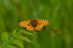 Small Pearl-bordered Fritillary (microwyred) Tags: events nature butterflyinsect leaf animalwing places beautyinnature flower smallpearlboarderedfritillary animal wyreforest lepidoptera wildlife multicolored macro closeup butterfly insect greencolor plant outdoors orangecolor summer yellow springtime pearched