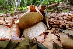 Boletus aestivalis (giansacca) Tags: boletusaestivalis bolet boletusreticulatus cep pilz porcino fungi seta hongo champignons mushroom mushrooms