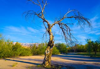 Tree at Rio Grande Village Nov 2015-3