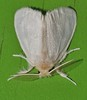 1 night Variations of Silky mop top moth Euproctis fimbriata Lymantriidae Noctuoidea Airlie Beach rainforest P1340820 (Steve & Alison1) Tags: 1 night variations silky mop top moth euproctis fimbriata lymantriidae noctuoidea airlie beach rainforest