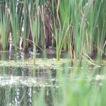 Otter drowning a moorhen thumbnail