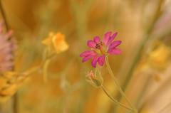 Tiempo de flores. (Amparo Hervella) Tags: elburguillo españa spain ávila flor macro macrofotografía naturaleza color lentemacro d7000 nikon nikond7000