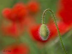 In a Field of It's Own (Simon Caplan) Tags: poppy poppies red green redandgreen flower flowers wildflowers wildlife shallowdepthoffield dof bokeh tenby wales westwales