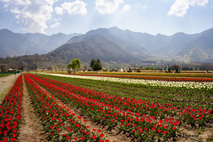 (Rambonp:loves all creatures of this universe.) Tags: tulipgardensrinagar srinagar jk kashmir tulips flowers yellow wallpaper red white trees green nature park day india beauty paradise blue canon landscape sky clouds mountains hills hillstation touristplace tourism dallake water ripples boats abandoned silhouette morning atthecrackofdawn canoeing sportsman sports rowing