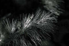pine needles (Dr Alex O Shevchenko) Tags: monochrome anaolgue bw blackandwhite blackwhite wood wooden 135film 135 nikon f4 nikkor 5014 ilford delta ilforddelta400 film d76 tonned nikonf4