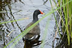 Blackwater National Wildlife Refuge 6/14/18 (AnthonyVanSchoor) Tags: common gallinule