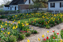 Spring in Williamsburg (HFF) (John H Bowman) Tags: virginia williamsburg colonialwilliamsburg gardens cwgardens taliaferrocolegarden flowers tulips bluebells anemones columbines springblossoms cwbuildings outbuildings fencesgates warmsunlight spring april2018 april 2018 canon24704l