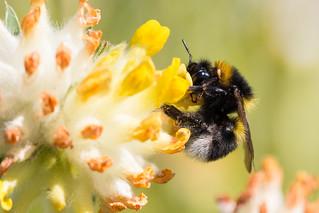 Bumblebee on kidney vetch