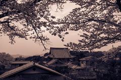 _DSC8740 (ilaria_gori) Tags: japan philosopherspath kyoto cherryblossom