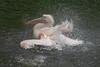 Roze Pelikaan_04 (Nick Dijkstra) Tags: rozepelikaanpelecanusonocrotaluswhitepelicanartis roze pelikaan pelecanus onocrotalus white pelican artis