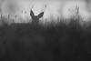 vor dem Sonnenaufgang (IIIfbIII) Tags: blackandwhite bw blackwhite black wildlife white wiese wildlifephoto naturephotography nature natur reh deer mammals müritznationalpark müritz dämmerung mv mecklenburg stille art canon