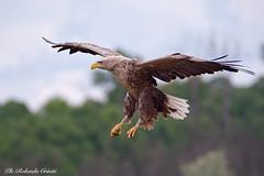 Aquila di mare _022 (Rolando CRINITI) Tags: aquiladimare aquila uccelli uccello birds rapaci ornitologia ultimafrontiera periprava tulcea deltadeldanubio romania natura