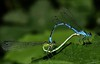 Azure Damselflies (DebbieH82) Tags: 270518messingham canon7dmkii 100mmmacrof28 azuredamselflycoenagrionpuella
