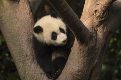 Giant panda (richard.mcmanus.) Tags: giantpanda panda china wildlife animal bears mcmanus chengdu trees 中國