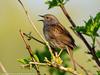 Dunnock (xrxss15) Tags: accentors animalia animals aves badenwürttemberg birds dunnock europe germany heckenbraunelle prunellamodularis prunellidae tiere vögel wagbachniederung waghäusel