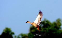 IMG_1735 Spot-billed Duck (Anas poecilorhyncha) (vlupadya) Tags: greatnature aves fauna indianbirds spotbilled duck anas malyadi karnataka