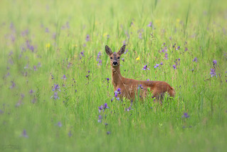 in the iris meadow