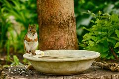 I'm a Statue! (flashfix) Tags: may262018 2018inphotos ottawa ontario canada nikond7100 55mm300mm nikon flashfix flashfixphotography wildlife mothernature bokeh nature redsquirrel rodent birdbath tree
