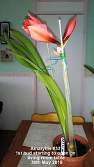 Amaryllis #32 1st bud starting to open on living room table 30th May 2018 (D@viD_2.011) Tags: amaryllis 32 1st bud starting open living room table 30th may 2018
