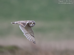 Short-eared Owl (Asio flammeus) (www.mikebarthphotography.com 1.5M Views thanks !) Tags: asioflammeus shortearedowl