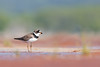 Semipalmated Plover (ayres_leigh) Tags: plover canon bird nature wildlife red migration brighton