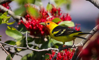Western Tanager Kenneth Hahn Park Los Angeles California 300