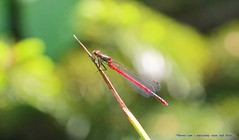 Damselfly.......... (law_keven) Tags: damselfly catford london england insects gardens ponds photography macrophotography pondlife
